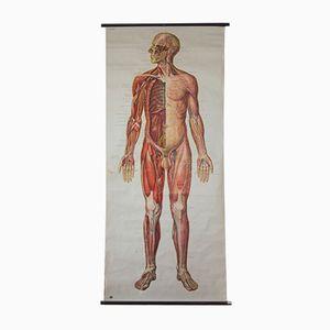Wand Schaubild Menschlicher Körper vom Deutschen Hygiene Institut, 1954