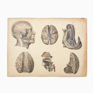 Affiche Educative Cerveau par M.J. Weber, 1830