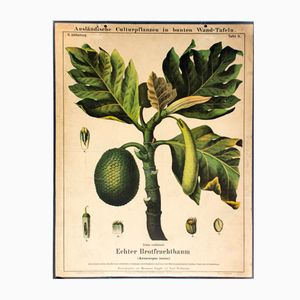 Affiche Murale Brotfruchtbaum Vintage par Zippel et Bollmann, 1877