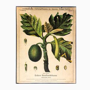 Vintage Brotfruchtbaum Schulwandkarte von Zippel and Bollmann, 1877