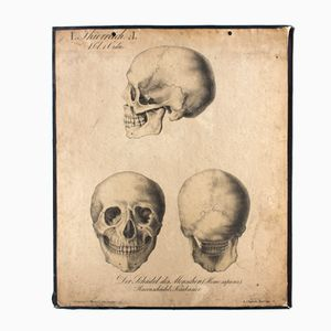 Antique The Human Skull Wall Chart by H. J. Ruprecht for Meinhold and Söhne, 1863