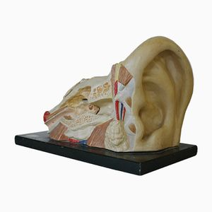Vintage Anatomical Model of the Ear, 1935