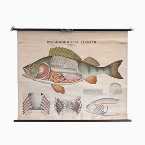 Fish School Wall Map from Norstedt & Söner Stockholm, 1950s