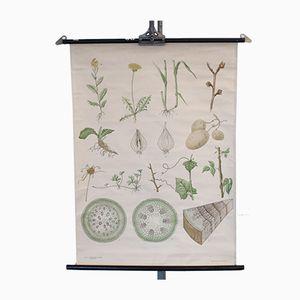 Botanische Schulwandkarte von Nordstedt & Söner Stockholm