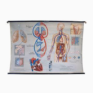 Vintage Atmung & Blutkreislauf Schulwandkarte