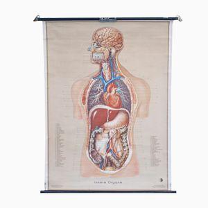 Vintage Innere Organe Schulwandkarte