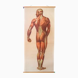 Muscles of the Human Body Wall Chart from the Deutsches Hygiene Institute, 1948