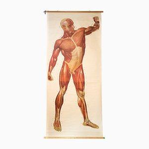 Muskelns des Menschlichen Körpers Wand Schautafel von Deutsches Hygiene Institut, 1948