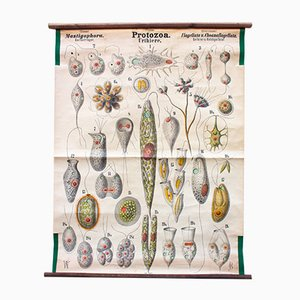 Antique Wall Chart Protozoa Urtiere by Rudolf Leuckart, 1879