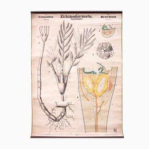 Antique Echinodermata Wall Chart by Rudolf Leuckart, 1879
