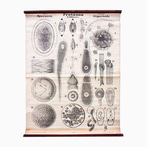 Antike Protozoen Lehrtafel von Rudolf Leuckart, 1879