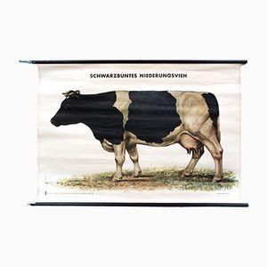 Kuh Plakat von Friedrich Reimann für Volk & Wissen, 1952