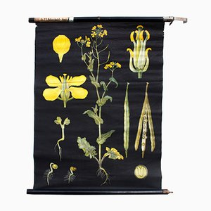Wall Chart Canola by Jung-Koch-Quentell for Hagemann