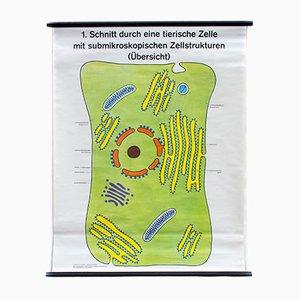 Affiche Murale d'Ecole Cell par Dr. H. Kaudewitz pour Westermann, 1968