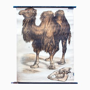Two Humped Camel Lithograph by J. F. Schreiber, 1893