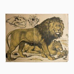 Lion Lithograph by J. F. Schreiber, 1889