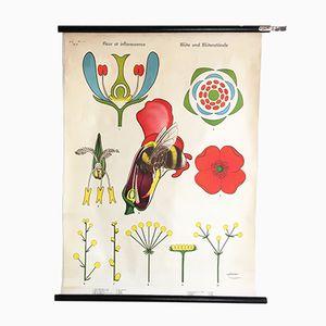 Botanisches Pull Down Plakat, 1970er