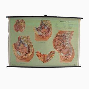 Stampa scolastica anatomica raffigurante il bacino femminile di Enst Klett Verlag, 1956