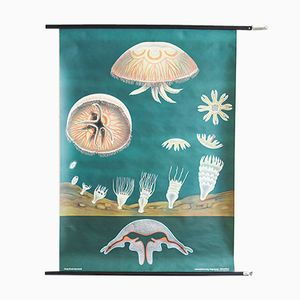 Vintage Jellyfish Wall Chart from Jung Koch Quentell