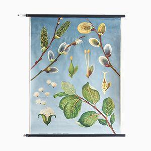 Stampa vintage raffigurante un salice arbustivo di Jung Koch Quentell