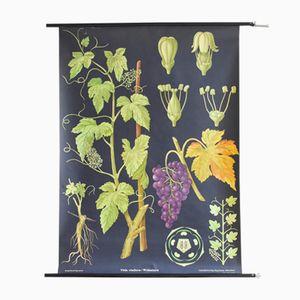 Stampa vintage botanica raffigurante una vite di Jung, Koch, & Quentell per Hagemann, 1963