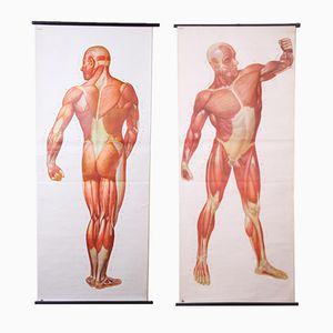 Anatomical Wall Charts, 1960s, Set of 2