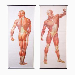 Tableaux Muraux Anatomiques, 1960s, Set de 2