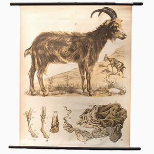Billy Goat Wall Chart by Franz Engleder for J. F. Schreiber, 1893