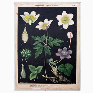 Wood Anemone Wall Chart by Prof. Dr. Pilling for Walter Müller, 1916