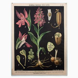 Broad-Leaved Marsh Orchid Wall Chart by Prof. Dr. Pilling, 1916