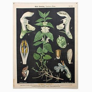 White Nettle Wall Chart by Prof. Dr. Pilling for Walter Müller, 1916