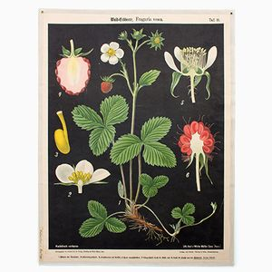 Wild Strawberry Wall Chart by Prof. Dr. Pilling for Walter Müller, 1916