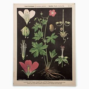 Marsh Cranesbill & Sorrel Wall Chart by Prof. Dr. Pilling for Walter Müller, 1916