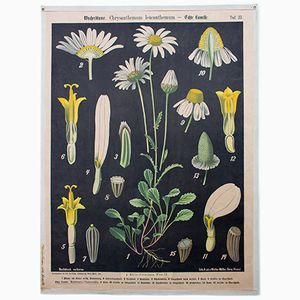 Chrysantemum & Chamomile Wall Chart by Prof. Dr. Pilling for Walter Müller, 1916