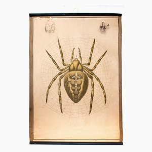 Lithograph Educational Chart of a Garden Spider by Karl Jansky, 1914
