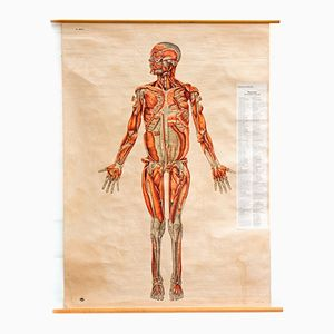 Wall Chart of the Front Side Muscular System by the Deutsches Hygiene Institute, 1951