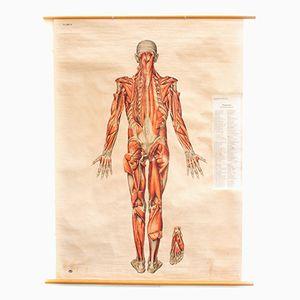 Wandplakat des Muskelsystems von Deutsches Hygiene Institute, 1951
