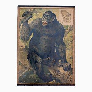 Gorilla Vintage Educational Chart, 1891