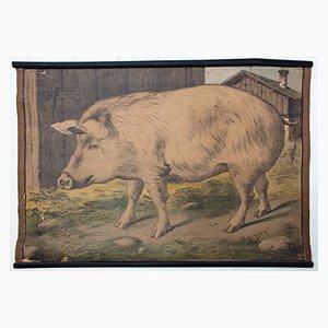 Schwein Lithograf von Karl Jansky, 1897