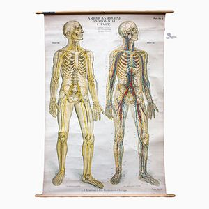 Amerikanisches Anatomie Wandplakat by A.J. Nystrom & Co. Publishers, 1918