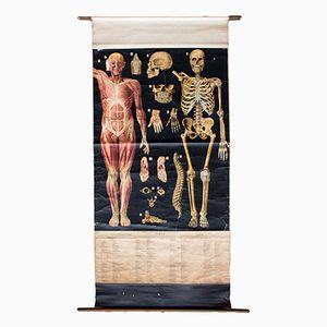 Anatomie Wandplakat von Professor Max Haim, 1918