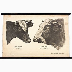 Anatomy of Cows Wall Chart by Dr. G. Pusch for Paul Parey, 1901
