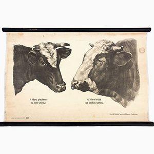 Kuh Wandplakat von Dr. G. Pusch für Paul Parey, 1901