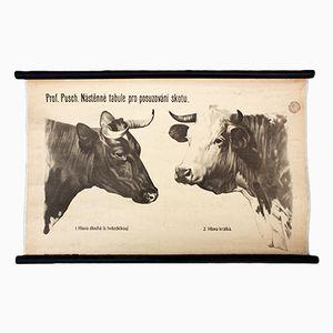 Kuh Wandplakat von Dr. G. Pusch für Paul Parey, 1951