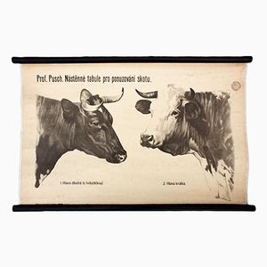 Wall Chart of Cows Anatomy by Dr. G. Pusch for Paul Parey, 1951