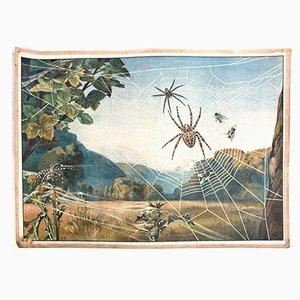 Spider Educational Chart from Meinolds Wandbilder, 1918