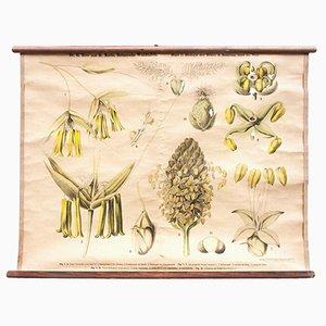 Stampa raffigurante la biologia floreale di Ross & Morin per Eugen Ulmer, inizio XX secolo
