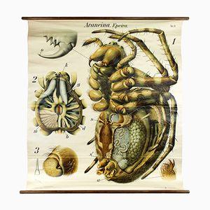 Stampa raffigurante un ragno di Paul Pfurtscheller per A. Pichlers Witwe & Sohn, 1904