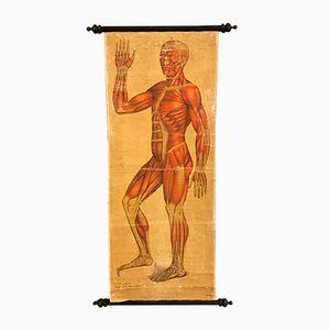 19th Century Anatomical Chart