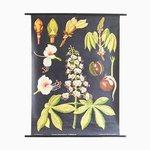 Botanische Kastanien Schulwandkarte von Jung, Koch & Quentell für Hagemann